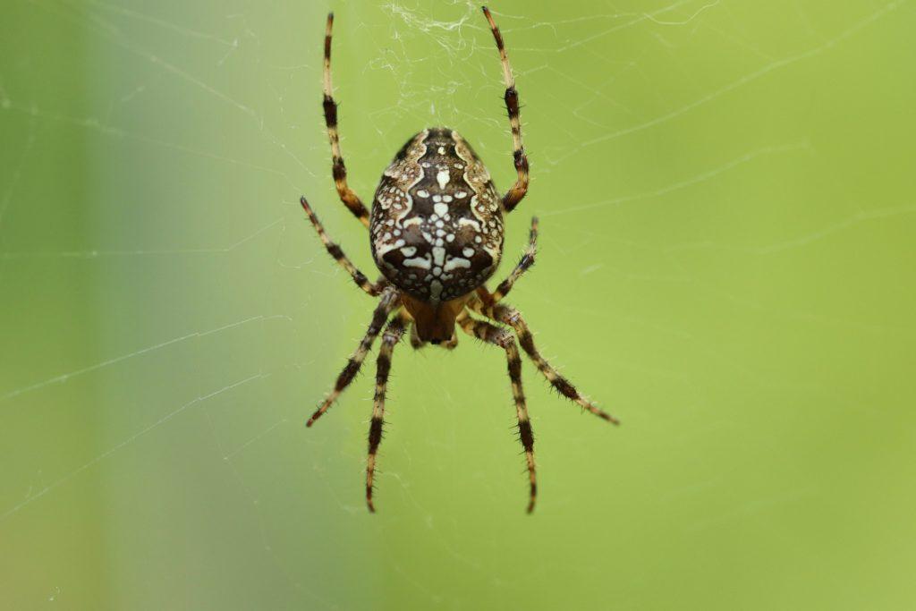 עכביש תמונה